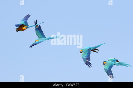 Group of four South American Blue and yellow macaws (Ara ararauna) in flight. Also known as Blue-and-gold Macaw.