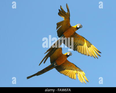 Pair of South American Blue and yellow Macaws (Ara ararauna) in close  flight. Also known as Blue and gold Macaw. - Stock Photo