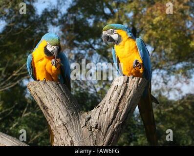 Pair of South American Blue and yellow macaws (Ara ararauna)  feeding on nuts - Stock Photo