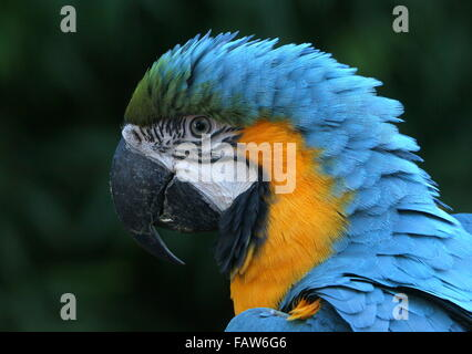 South American Blue and yellow macaw (Ara ararauna) portrait. - Stock Photo
