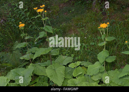 Large Yellow Oxeye, Große Telekie, Telekia speciosa, Buphthalmum speciosum, œil de bœuf - Stock Photo