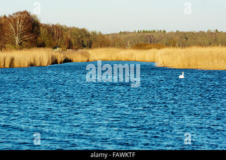 A mute swan swims along in the bay surrounded by reed. Forest in background and copy space in water. Late December - Stock Photo