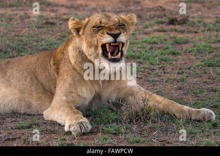Lioness (Panthera leo) baring teeth, Sabi Sands Game Reserve, Sabi Sabi Bush Lodge, South Africa - Stock Photo