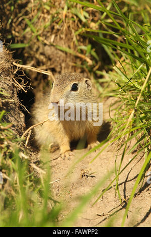 European ground squirrel (Spermophilus citellus) young in front of the den, captive, Sweden - Stock Photo