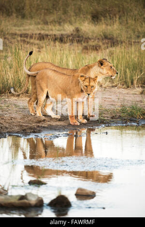 Two lionesses (Panthera leo) reflected in pool, Serengeti National Park; Tanzania - Stock Photo