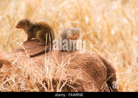 Pair of Dwarf Mongoose (Helogale parvula) on termite mound, Tarangire National Park; Tanzania - Stock Photo