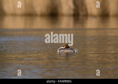 Great Crested Grebe; Podiceps cristatus Single on Water; Cornwall; UK - Stock Photo
