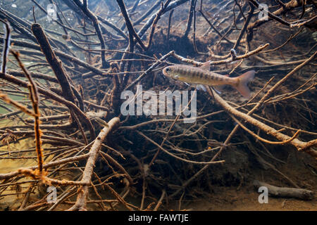 Coho Salmon (Oncorhynchus kisutch) fry near a submerged rootwad in an Alaskan stream during spring. - Stock Photo