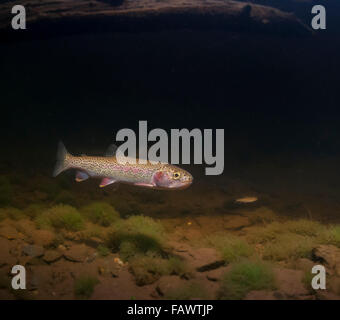 Coastal Cutthroat Trout (Oncorhynchus clarkii clarkii), adult and fry, downstream of a beaver dam during spring, - Stock Photo