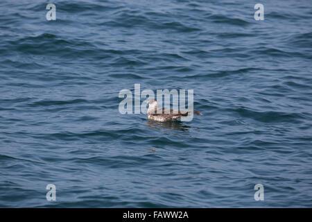 Pomarine Skua; Stercorarius pomarinus Single on Sea; North Sea; UK - Stock Photo