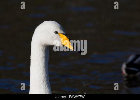 Whooper Swan; Cygnus cygnus Single Portrait Helston Boating Lake; Cornwall; UK - Stock Photo