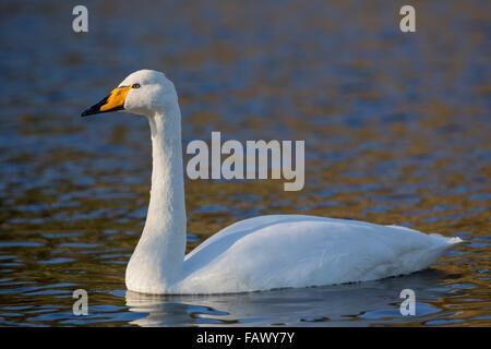 Whooper Swan; Cygnus cygnus Single on Water; Cornwall; UK - Stock Photo