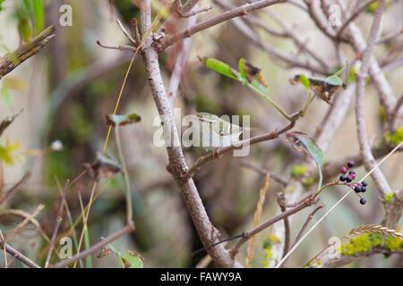 Yellow Browed Warbler; Phylloscopus inornatus Single on Branch; Yorkshire; UK - Stock Photo