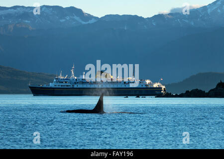 A mature male Orca whale (Killer Whale) surfaces in Lynn Canal as an Alaska Highway ferry passes beyond, Inside - Stock Photo