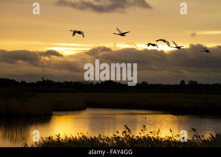 Swans taking off as the sun rises over a lake in Rufford, Lancashire, UK - Stock Photo