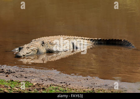A Nile crocodile (Crocodylus niloticus) basking in shallow water, Kruger National Park, South Africa - Stock Photo