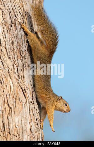 Tree squirrel (Paraxerus cepapi) sitting in a tree, Kruger National Park, South Africa - Stock Photo