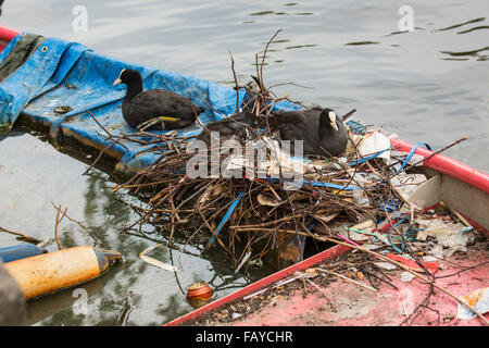 Netherlands, Amsterdam, Coots on nest in canal in city center on sunken rowing boat - Stock Photo