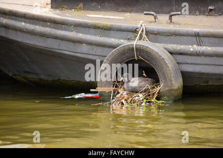 Netherlands, Amsterdam, Coot on nest in tyre in canal in city center near houseboat - Stock Photo
