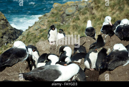 A pair of rockhopper penguins finds peace among the chaos of nesting albatrosses and penguins on West Point Island - Stock Photo