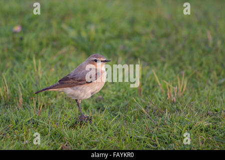 Northern Wheatear / Steinschmaetzer ( Oenanthe oenanthe ) in typical environment, stands on top of a little mound - Stock Photo