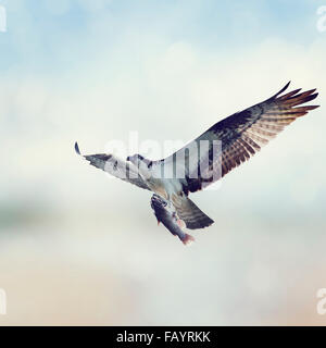 Osprey with Fish in Flight - Stock Photo