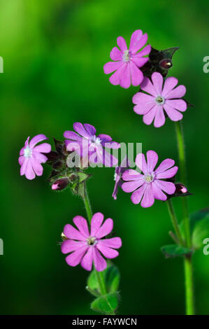 Red campion flowers UK - Stock Photo