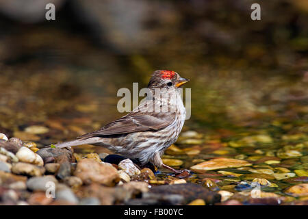 Common redpoll (Acanthis flammea / Carduelis flammea), female drinking water  from stream - Stock Photo