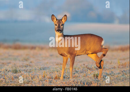 Roe deer in a early winter morning - Stock Photo