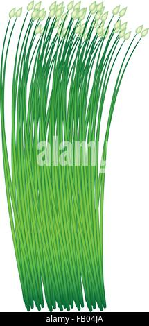 Vegetable and Herb, Vector Illustration of Flowering Chinese Garlic Chives or Ku Chai Isolated on White Background - Stock Photo