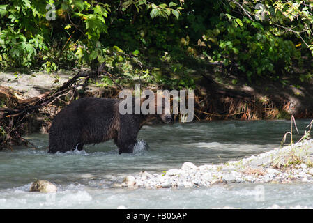 Mainland grizzly (Ursus arctos horribilis) walking in water, Bute Inlet, Vancouver Island, British Columbia, Canada - Stock Photo