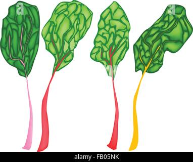 Vegetable, Vector Illustration of Delicious Fresh Rainbow Swiss Chard with Different Colors Stalks Isolated on White - Stock Photo