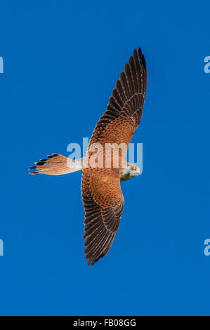 Nankeen Kestrel (Falco cenchroides) in flight against a blue sky. Upper parts clearly shown. - Stock Photo