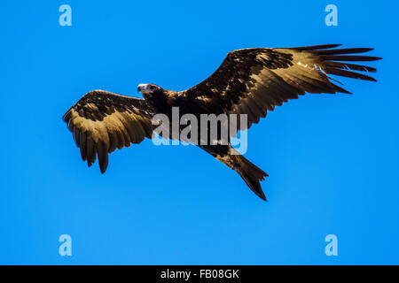Wedge-tailed Eagle (Aquila audax) in flight. - Stock Photo