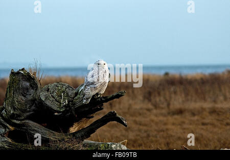 Lonely Snowy owl stand alone - Stock Photo