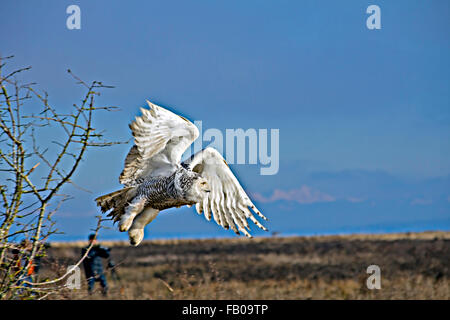 Want to fly! Closeup flying snowy owl. - Stock Photo