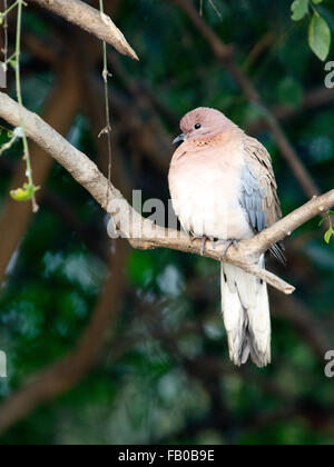 The laughing dove is a small pigeon found in Bharatpur, Rajasthan. - Stock Photo