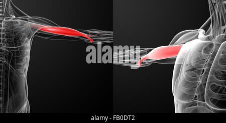 medical  illustration of the biceps - Stock Photo