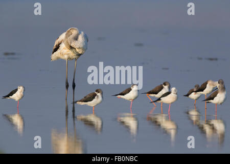 Greater Flamingo (Phoenicopterus roseus), Resting together with Black-winged Stilts, Salalah, Dhofar, Oman - Stock Photo