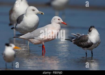 Slender-billed Gull (Chroicocephalus genei), Standing on the beach, Liwa, Al Batinah, Oman - Stock Photo