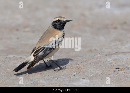 Desert Wheatear (Oenanthe deserti), Standing on the ground, Taqah, Dhofar, Oman - Stock Photo