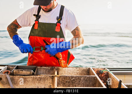Fisherman putting rubber band on lobster - Stock Photo