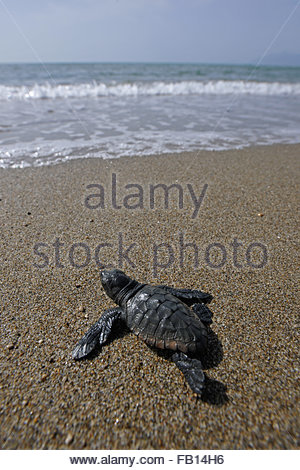 small turtle caretta caretta coast of Salerno,Battipaglia - Stock Photo
