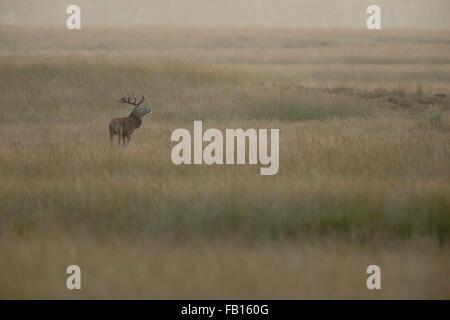 European Red Deer / Rothirsch ( Cervus elaphus ) in wide steppe, wonderful atmospheric light, stands in typical - Stock Photo
