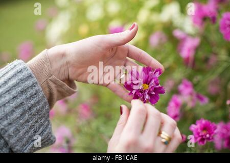 Close up of womans hands tending flower in organic garden - Stock Photo