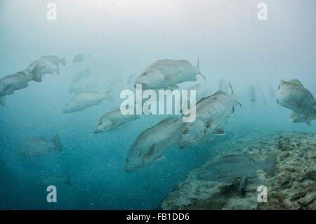 Underwater view of large cubera snapper schools gathering around a fresh water ocean sinkhole, Cancun, Quintana - Stock Photo