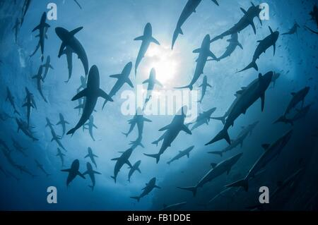 Underwater silhouetted view of silky sharks gathering in spring for mating rituals, Roca Partida, Revillagigedo, - Stock Photo