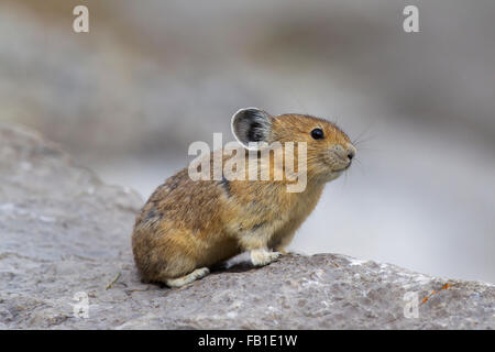American pika (Ochotona princeps) native to alpine regions of Canada and western US, first victims to global climate - Stock Photo