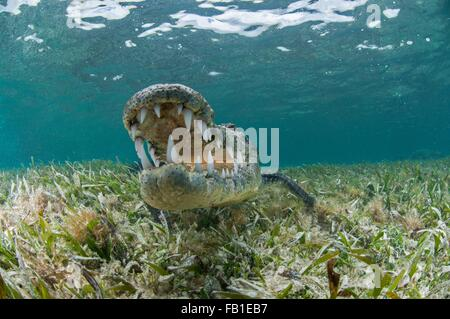 Underwater front view of crocodile on seagrass, open mouthed showing teeth, Chinchorro Atoll, Quintana Roo, Mexico - Stock Photo