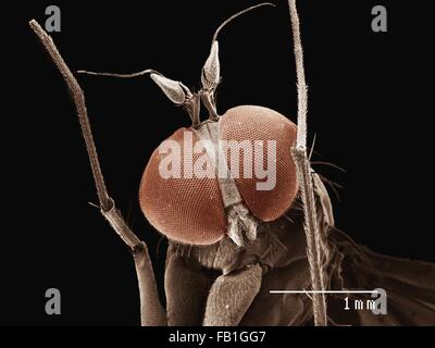 Coloured SEM of small fly (Diptera) - Stock Photo